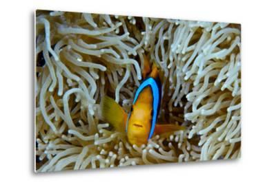 Orange-Finned Anemonefish Shelters in an Anemone's Stinging Tentacles-Jason Edwards-Metal Print