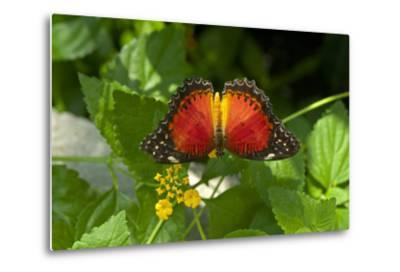 A Red Lacewing Butterfly Alights on a Plant with Small Yellow Flowers-Medford Taylor-Metal Print