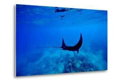 A Manta Ray Glides over a Reef Near the Surface of a Tropical Ocean-Jason Edwards-Metal Print