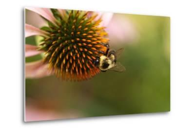 A Bee on a Coneflower-Vickie Lewis-Metal Print