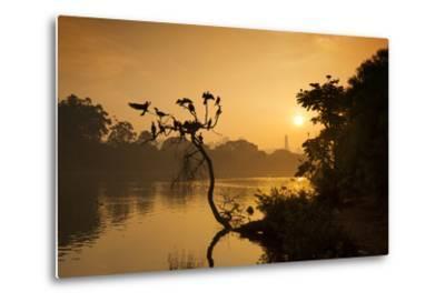 Black Vultures Sun Themselves on a Tree at Sunrise-Alex Saberi-Metal Print