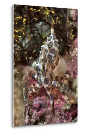 Blue-Ring Octopus and Coral, Raja Ampat, Papua, Indonesia-Jaynes Gallery-Metal Print