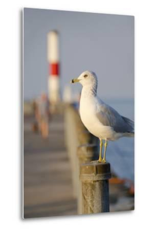 Seagull at the Lake Ontario Pier, Rochester, New York, USA-Cindy Miller Hopkins-Metal Print
