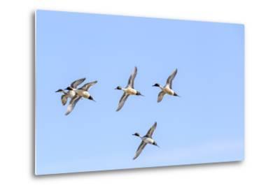 Northern Pintail Ducks in Courtship Flight, Montana, USA-Chuck Haney-Metal Print