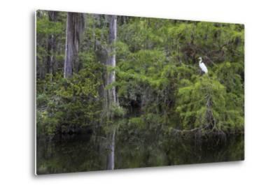 Great Egret in Everglades National Park, Florida, USA-Chuck Haney-Metal Print