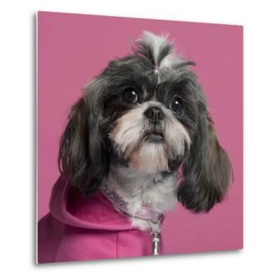 Close-Up Of Shih Tzu In Pink, 2 Years Old, In Front Of Pink Background-Life on White-Metal Print