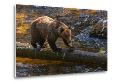 Grizzly Bear Watching for Salmon, Tongass National Forest Alaska, USA-Jaynes Gallery-Metal Print