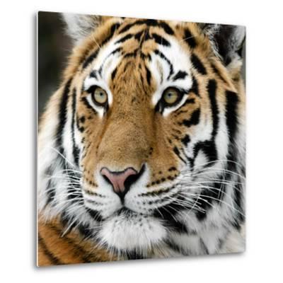 Tiger-nialat-Metal Print