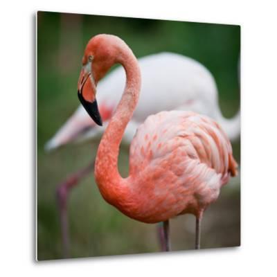 Pink Flamingos-l i g h t p o e t-Metal Print