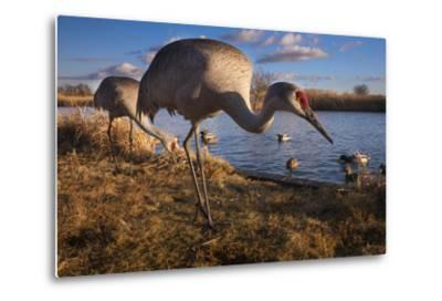 Sandhill Cranes and Mallard Ducks, British Columbia, Canada-Art Wolfe-Metal Print