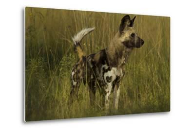 Portrait of an Endangered African Wild or Cape Hunting Dog, Lycaon Pictus, in Tall Grass-Beverly Joubert-Metal Print