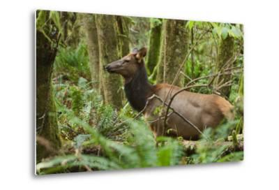 A Roosevelt Elk Stands in a Lush Forest in Ecola State Park-Vickie Lewis-Metal Print