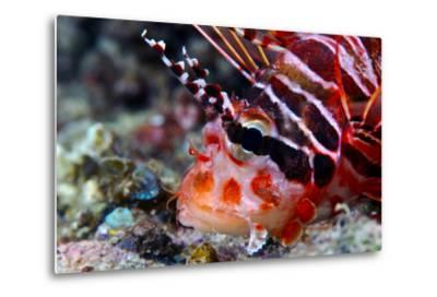 A Venomous Spotfin Lionfish Displays its Vivid Red Stripes and Spines-Jason Edwards-Metal Print