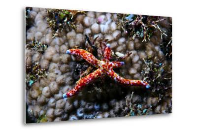 A Vivid Red Spotted Linckia Sea Star Perched Atop a Coral Reef-Jason Edwards-Metal Print