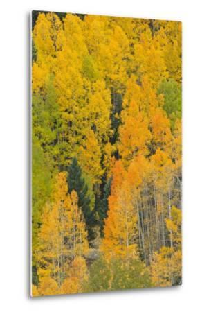 Quaking Aspens in a Fall Glow, Bald Mountain, New Mexico, USA-Maresa Pryor-Metal Print