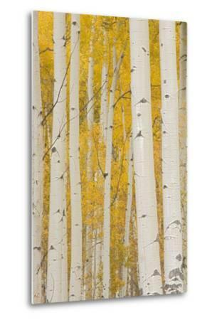 Aspen Trees, White River National Forest Colorado, USA-Charles Gurche-Metal Print
