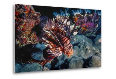 Lionfish at Daedalus Reef (Abu El-Kizan), Red Sea, Egypt-Ali Kabas-Metal Print