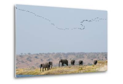 A Herd of African Elephants, Loxodonta Africana, Along Chobe River-Sergio Pitamitz-Metal Print