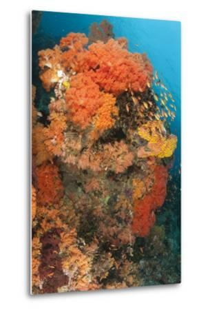 Colorful Reefs Covered in Orange Dendronephthya Soft Corals--Metal Print