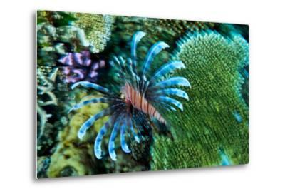 A Lionfish Swims across a Coral Reef with it's Venomous Fins Extended-Jason Edwards-Metal Print