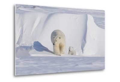 Polar Bear with Spring Cub, ANWR, Alaska, USA-Steve Kazlowski-Metal Print