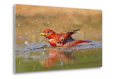 Summer Tanager (Piranga Rubra) Male Bathing, Texas, USA-Larry Ditto-Metal Print