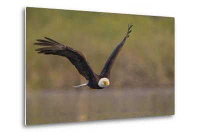 Bald Eagle (Haliaeetus Leucocephalus) in Flight, Washington, USA-Gary Luhm-Metal Print