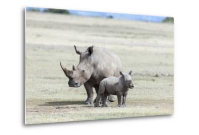 White Rhinoceros Mother with Calf, Kenya-Martin Zwick-Metal Print