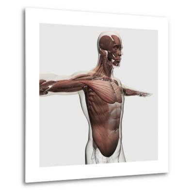 Anatomy of Male Muscles in Upper Body, Side View--Metal Print