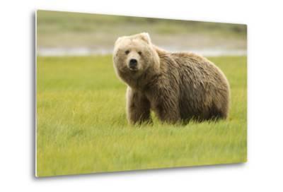 Alaskan, Brown Bear, Ursus Middendorffi, Katmai National Park, Alaska-Howie Garber-Metal Print