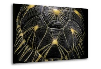 Geochelone Radiata (Radiated Tortoise)-Paul Starosta-Metal Print