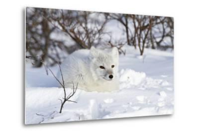 Arctic Fox in Snow, Churchill Wildlife Area, Manitoba, Canada-Richard ans Susan Day-Metal Print