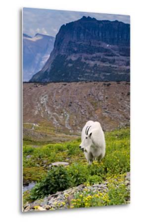 Mountain Goat Feeding , Glacier NP, UNESCO Near Kalispell, Montana-Howie Garber-Metal Print