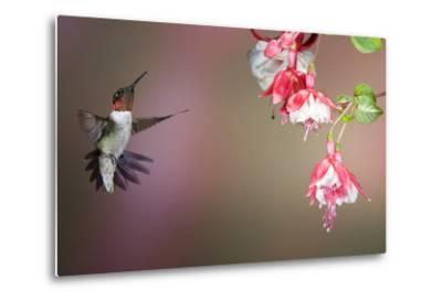 Ruby-Throated Hummingbird Male at Fuschia, Marion, Illinois, Usa-Richard ans Susan Day-Metal Print