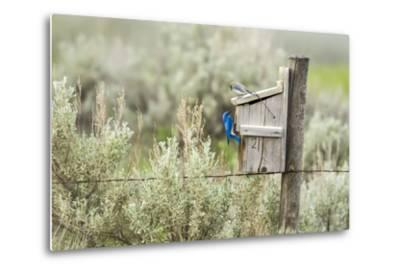 Breeding Pair of Mountain Bluebirds, Mission Valley, Montana, Usa-Chuck Haney-Metal Print