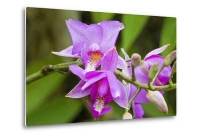 Wild Orchid, Cloud Forest, Upper Madre De Dios River, Peru-Howie Garber-Metal Print