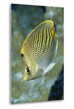 Dot & Dash Butterflyfish-Hal Beral-Metal Print