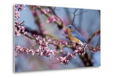 Eastern Bluebird Male in Eastern Redbud, Marion, Illinois, Usa-Richard ans Susan Day-Metal Print
