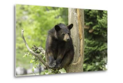 Black Bear in a Tree-Josef Pittner-Metal Print