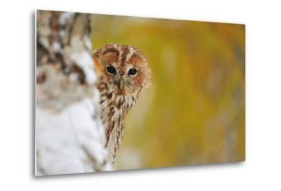 Courious Tawny Owl-Stanislav Duben-Metal Print
