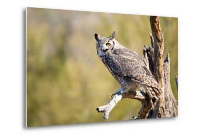 Great-Horned Owl , Arizona-Birdiegal-Metal Print