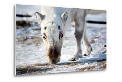 A Wild Reindeer on the Island of Spitsbergen, Svalbard, Norway-leaf-Metal Print