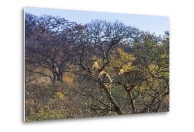 Males in a Tree-PattrickJS-Metal Print