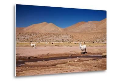 Lamas in Atacama Desert, Chile-Nataliya Hora-Metal Print