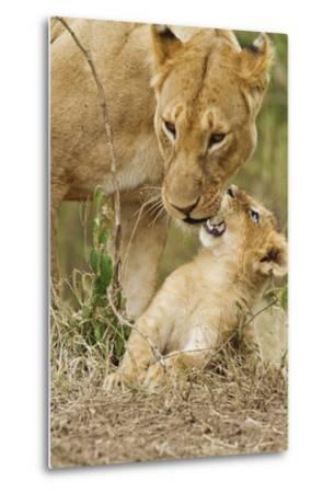 Lion with Young One, Maasai Mara Wildlife Reserve, Kenya-Jagdeep Rajput-Metal Print