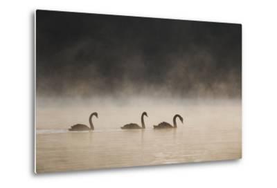 Three Blacks Swans Glide over Ibirapeura Park Lake on a Misty Morning-Alex Saberi-Metal Print