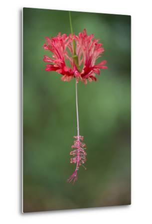 A Hibiscus Flower-Michael Melford-Metal Print