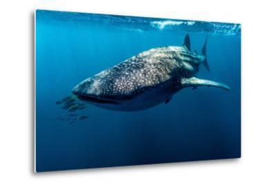 Yellowtail Fusilier Swim in Front of a Filter Feeding Whale Shark-Jason Edwards-Metal Print