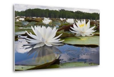 Fragrant Water Lily (Nymphaea Odorata) on Caddo Lake, Texas, USA-Larry Ditto-Metal Print