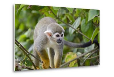 Wild Squirrel Monkey in Tree, Ile Royale, French Guiana-Cindy Miller Hopkins-Metal Print